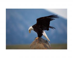 Secondary poisoning Eagle